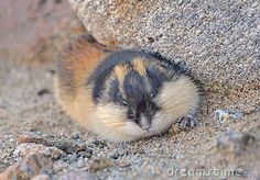 Photo about Siberian Brown Lemming is hiding in the grass. Image of mouse, siberian, zoology - 29142973 Cat Sitting, Domestic Cat, Zoology, Logo Design Inspiration, Kitten, Wildlife, Stock Photos, Rodents, 3 Months