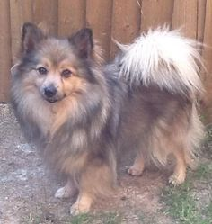 German spitz mittel For Sale in Coningsby, Lincolnshire | Preloved