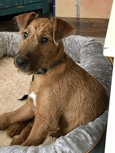 Finn at months! Fox Terriers, Wire Fox Terrier, Cute Dogs And Puppies, Doggies, Dog Best Friend, Irish Terrier, Man And Dog, Adorable Dogs, 5 Months