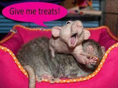 Rat Photography by Rebecca Cornford