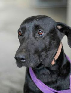 """Missy is """"Sissy"""" to her brother Ghost, and each says the other will be missed the most when they go to their forever homes. Surrendered to the Aiken County Animal Shelter in South Carolina on May 24th, this pair almost didn't make it out of the shelter alive. These Labrador Retriever mixes are seniors at eight years of age; they are black dogs; they are both heartworm positive; and they both had to be out by June 1st or be euthanized due to a seizure of 30 dogs in a hoarding case."""