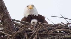 Harriet and E9 in their nest. Photo Credit: Desiree Deliz via Southwest Florida Eagle Cam