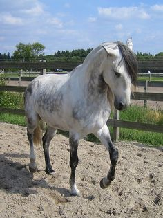 Lusitano in piaffe by LylithLusitana, via Flickr