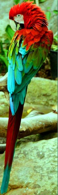"""had a Green Wing Macaw for 7 years, named """"Wink"""". He needed a mate so now he lives with a girl and has a family! Tropical Birds, Exotic Birds, Colorful Birds, Pretty Birds, Beautiful Birds, Animals Beautiful, Beautiful Pictures, Green Wing Macaw, Kinds Of Birds"""