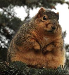 Fat animals are undeniably adorable, and there are a few things cuter than an overweight squirrel. Packing nuts for the winter, these obese rodents struggle to Fat Animals, Fluffy Animals, Animals And Pets, Wild Animals, Squirrel Pictures, Animal Pictures, Funny Pictures, Hilarious Photos, Happy Pictures