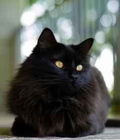 Fluffy black cat - that looks like Sam!