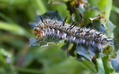 #cuncuna #oruga #larva #lepidoptera #mariposa #naturaleza #chile #macro #ecologia #verde Moth, Macro, Animals, Blog, Caterpillar, Insects, Green, Naturaleza, Animales