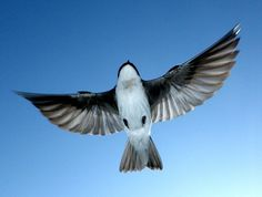 Tree Swallow Flying