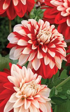 ~~Dragon's Breath Dahlia | Fiery Red and Snow White combine in unexpected ways to make each flower different. Grows to 3 Ft high | Vesey's~~