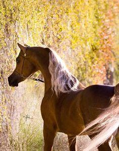 #Chestnut #Arabian #Horse