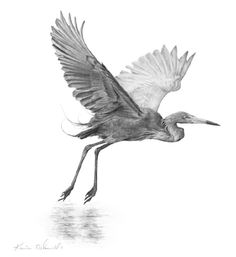 Taking Flight by Karie O'Donnell. 13x12. Graphite.