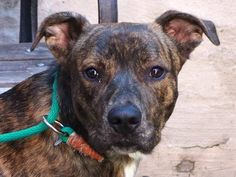 TO BE DESTROYED  10/9/13 Manhattan Center-P. FICO. ID # is A0979969.A male br brindle and blck br brindle and germ shep mix. 3 YRS old. I came in the shelter as a STRAY on 9/24/13 ABANDON. Fico is a good boy with a strong heart and profound character. He opens up when around other dogs and is on the road toward learning he likes humans too. Now that he knows what is possible, Fico craves connection. We owe this uniquely sweet young man the possibility of a new future.