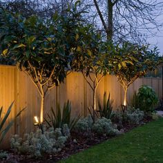 uplit trees adding interest along the fence in the furthest garden segment these are small magnolia trees