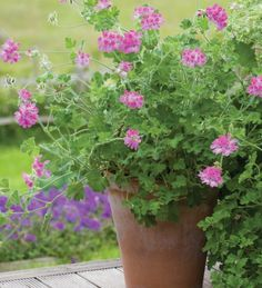 Pelargonium 'Pink Capitatum' has delicious rose-scented leaves with large pretty, pink flowers – fantastic for six months at a stretch. Of the deep pinks, this one's hard to beat.SR Image