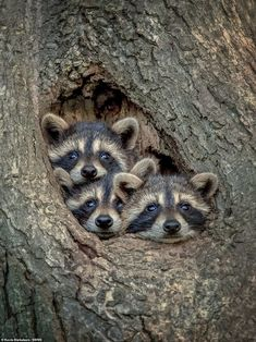 Adorable moment three raccoons pose for a perfect family portrait