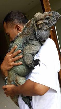 Giant Iguana
