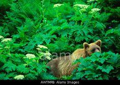 Alaskan brown grizzly bear Chenik Alaskan Peninsula Alaska United States  © Galen Rowell/Mountain Light / Alamy