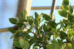 Eucalyptus subcrenulata - Dezember 2017