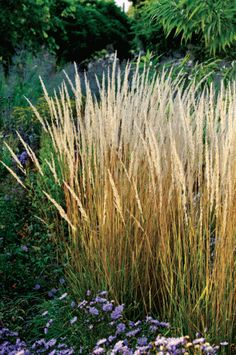 One to consider. Calamagrostis x acutiflora 'Karl Foerster' A great upright grass with plumes that appear in early summer and last until the following spring.