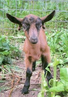 #goatvet likes this photo of a kid who's wattles are on its ears instead of its neck- like earrings