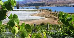 The brown hills of Central Otago contrast with green grape foliage and the blue waters of a lake on a Black ZQN wine tour. Central Otago, Green Grapes, South Island, New Zealand, Golf Courses, Contrast, Destinations, Tours, Wine