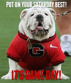 """Uga the Bulldog is pure awesomeness!- It's my favorite mascot and the pet is Uga the Bulldog and """"Hairy"""". Let's go Bulldogs !, Go Bulldogs !, Go Dawgs ! Let's go Dawgs !, and Bulldogs win ! Football Photos, Football Memes, Football Season, College Football, Football University, Espn College, Football Stuff, Georgia Bulldog Mascot, Georgia Bulldogs Football"""