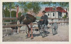 Arcane Arkansas History: Hot Springs Ostrich Farm