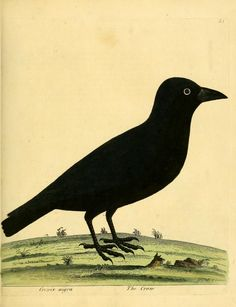Crow, A Natural History of Birds: Illustrated with a Hundred and One Copper Plates, Eleazar Albin and William Derham, 1731-1738.