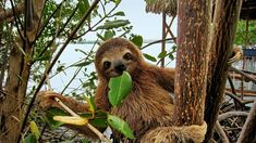 Sloths Call Costa Rica Rainforests Home