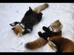 Red Pandas playing the snow. cutest animals on earth