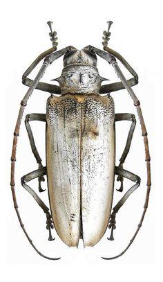 Batocera hercules – CERAMBYCIDAE subf. Lamiinae