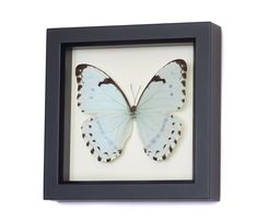 Mint Morpho (Morpho catenarius) professionally framed in a museum quality shadowbox.