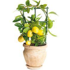 4 rady, ako úspešne pestovať subtropické plody | Urob si sám Korn, Gardening, Plants, Lawn And Garden, Plant, Planets, Horticulture