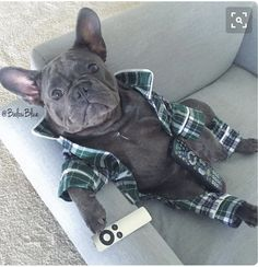 Ready for the Weekend, Balou Blue, the French Bulldog ❤ #buldog