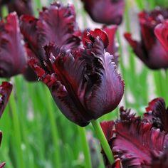 Die Tulpe 'Black Parrot' wirkt einfach wunderschön – mit ihrer intensiven Farbe und verschnörkelten Blütenblättern. Pfanzzeit ist im Herbst - online bestellbar bei www.fluwel.de