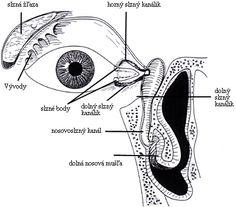 Stavba a funkcia oka - Primar.Sme.sk