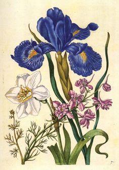 Maria Sybilla Merian 80296806_Larkspur_Daffodil_Iris