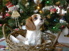 Cavalier King Charles Spaniel - I'm not really a Dog person but if I got a dog it would be this one. I almost bought one a year ago, such a cutie ♥