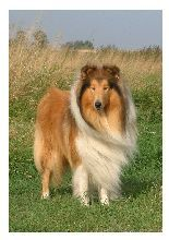 collie (I loved watching Lassie as a kid)