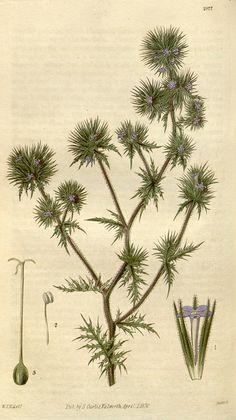 Botanical illustration of flowers by Biodiversity Heritage Library