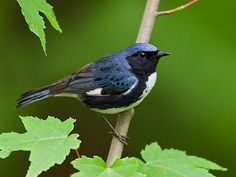 Black-throated Blue Warbler, adult male, Identification, All About Birds - Cornell Lab of Ornithology