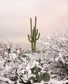 -Wilder California Cactus Prints- Affordable Wall Art For Your Home Cactus Flower, Flower Pots, Flowers, Flower Bookey, Snow In Arizona, How To Grow Cactus, Flower Film, Flower Boutique, Flower Names