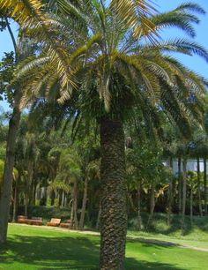 Andando com Formigas: Palmeira Tamareira das Canárias