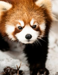 Red Panda Wall Art Animal Photography by PhotographySource, $17.00