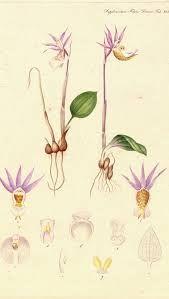 flora danica - Google-søgning Plant Illustration, Botanical Illustration, Kingdom Of Denmark, Flora Danica, Royal Copenhagen, Botany, Plants, Porcelain, China