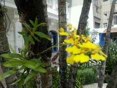Orquídeas, Laranjeiras