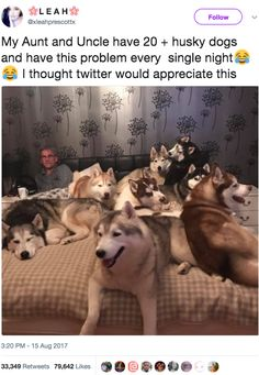 My Aunt and Uncle have 20 + husky dogs and have this problem every single night. - Okay, this would kinda be my dream problem. Cute Funny Animals, Funny Animal Pictures, Funny Cute, Funny Dogs, Funny Husky, Hilarious, Animals And Pets, Baby Animals, Cute Puppies