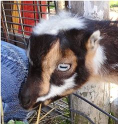The Life of Frankie the Baby Goat, a story written by Melody Joy, a tale illustrating how an animal is capable of touching your heart.