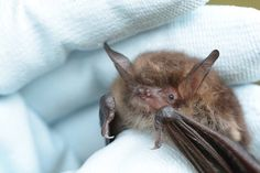 Natterers bats feed by using their tails to pluck prey like spiders and flies off of leaves. Little warrior acrobat. And ADORABLE Cute Baby Bats, Cute Babies, Defenders, Spiders, Frogs, Conservation, Owls, Habitats, Creepy