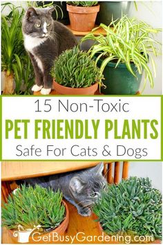 Some types of indoor plants can be poisonous to cats and dogs, which is very scary to think about! Avoid the risk of unknowingly having toxic indoor plants in your home, and grow these pet friendly ho Cat Safe Plants, Inside Plants, Plants Toxic To Cats, Houseplants Safe For Cats, Growing Plants Indoors, Light In, Christmas Cactus, Christmas Eve, Garden Types